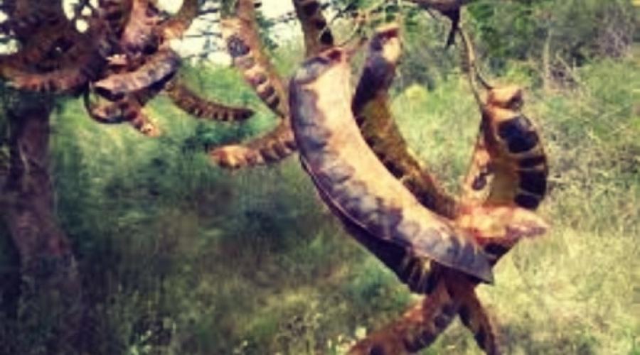 Alimento a base de Acacia Negra